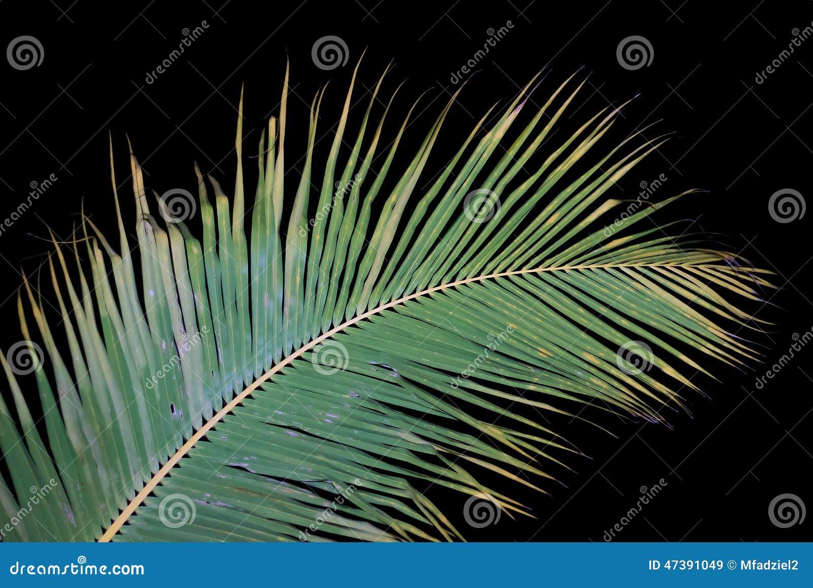 棕榈树叶子图片