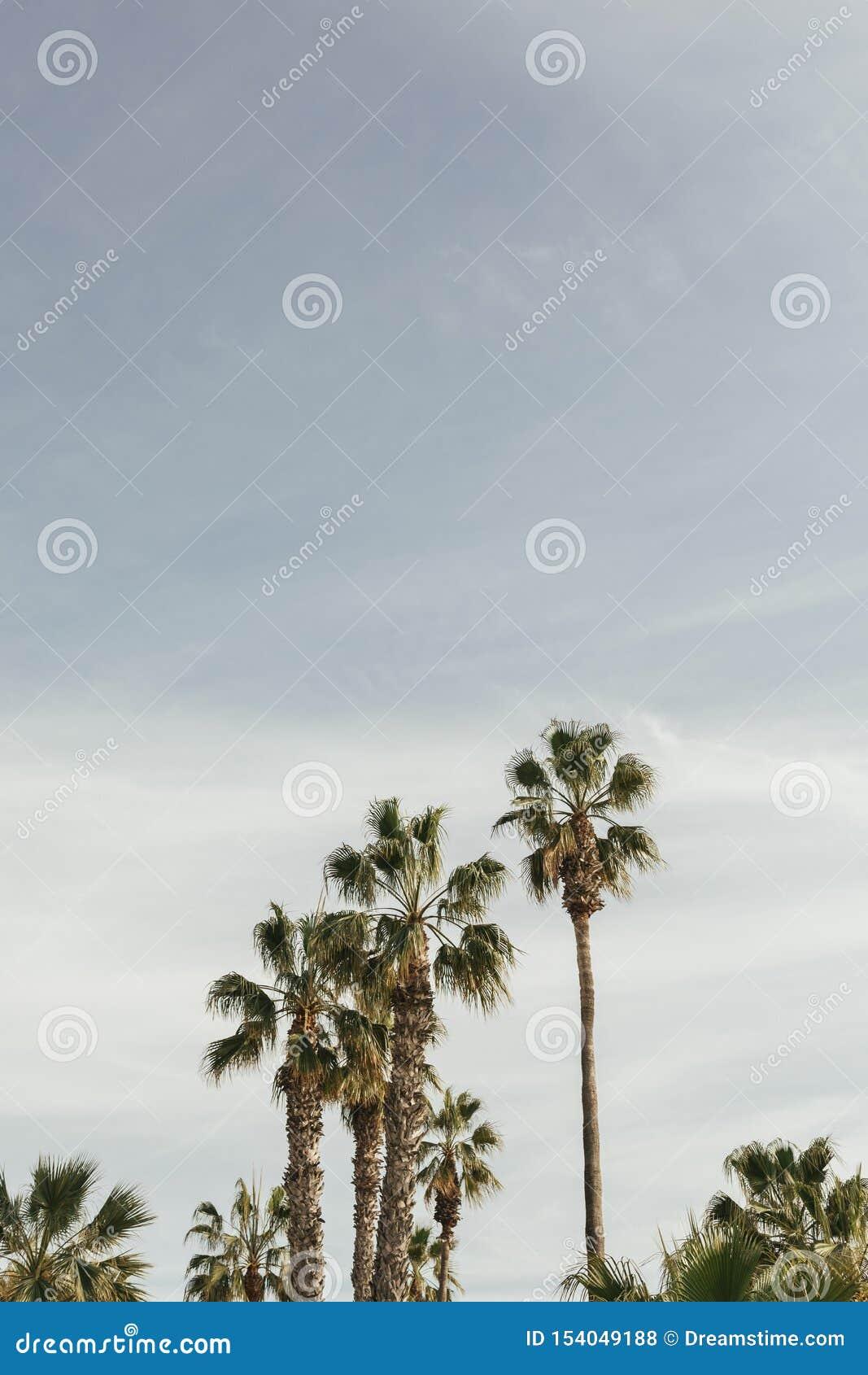 棕榈树在有天空蔚蓝的马拉加