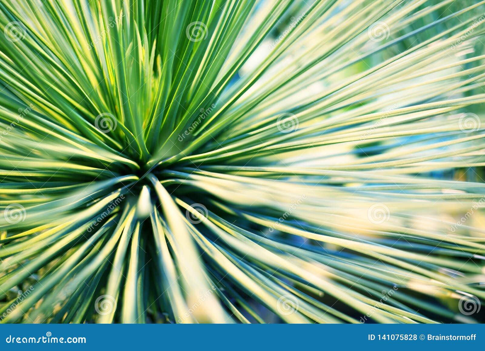 棕榈树或装饰室内植物被弄脏的背景特写镜头宏指令鲜绿色的叶子