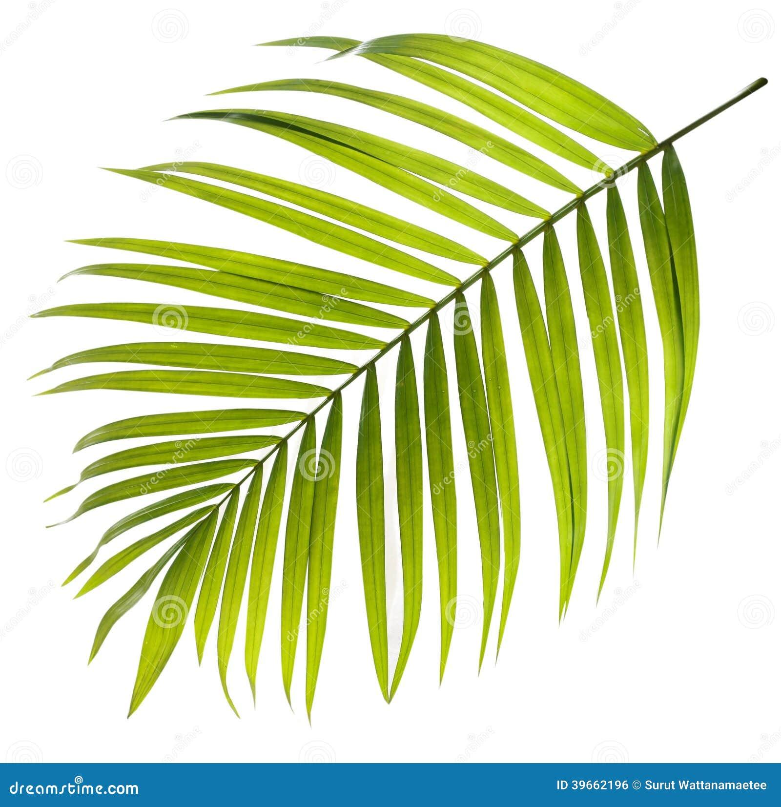 棕榈树绿色叶子在白色的