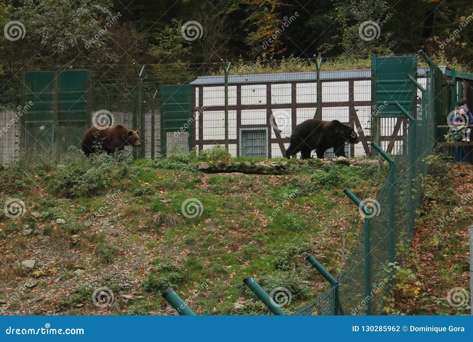 棕熊走在篱芭后的在动物园里
