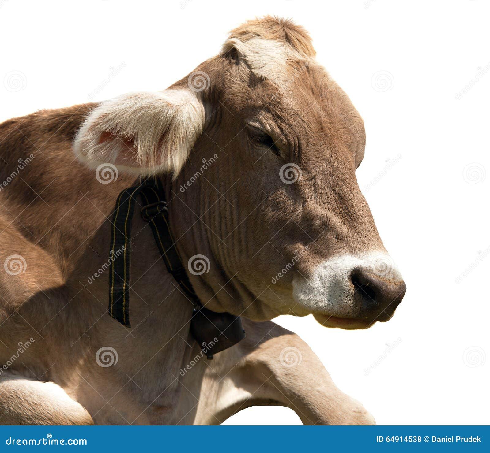 头棕色母牛(猜错primigenius金牛座)与母牛的颈铃