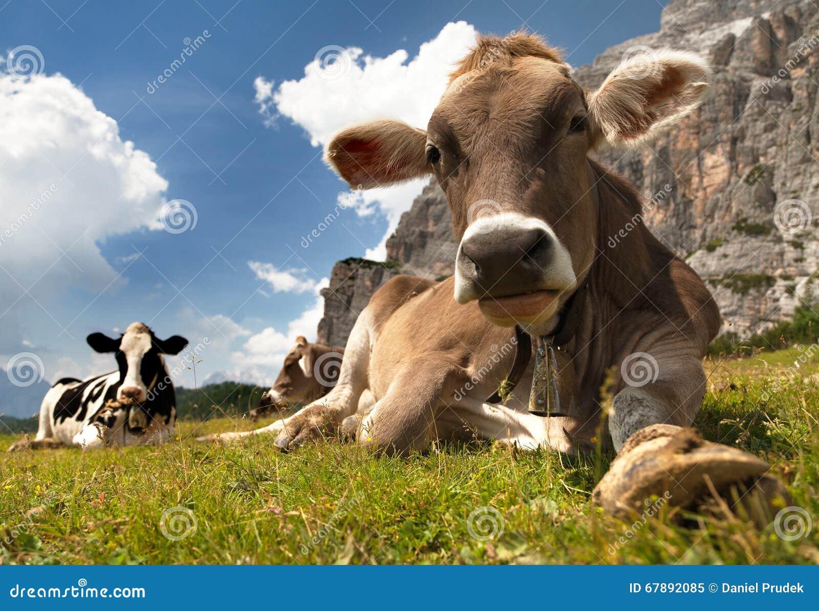 头棕色母牛(猜错primigenius金牛座),与母牛的颈铃