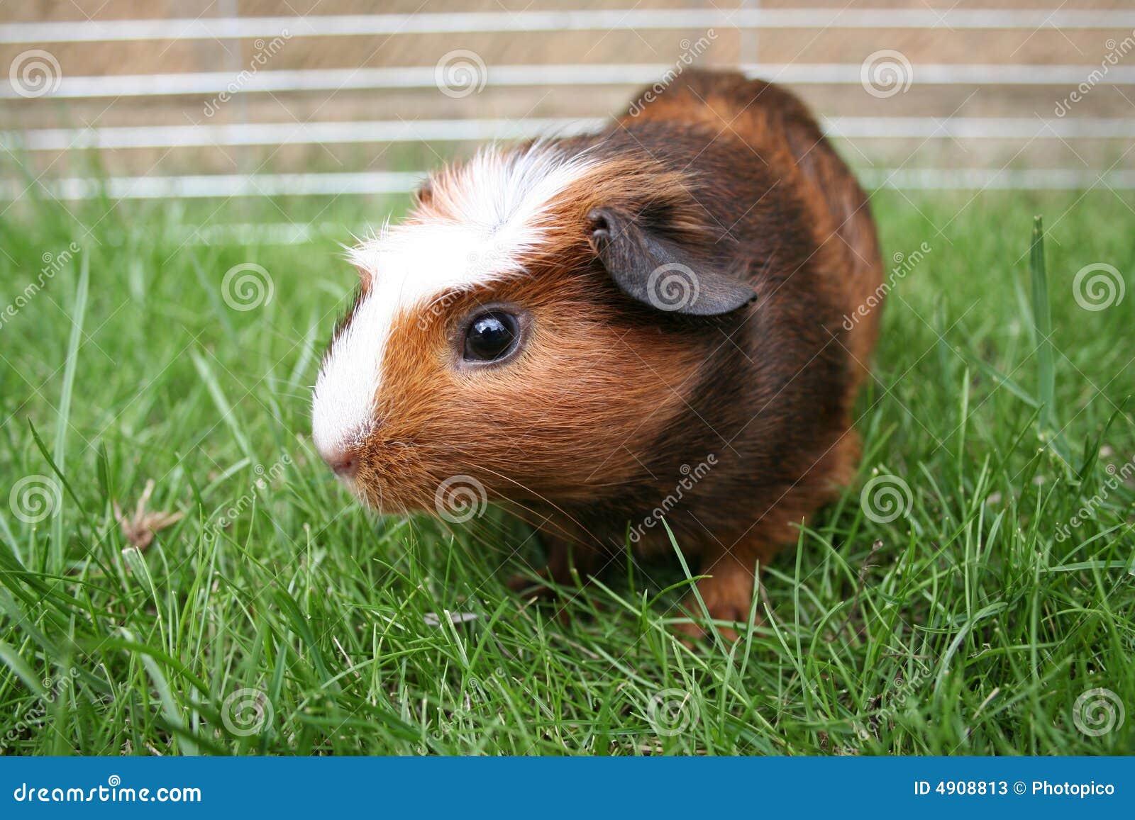 棕色沙鼠宠物