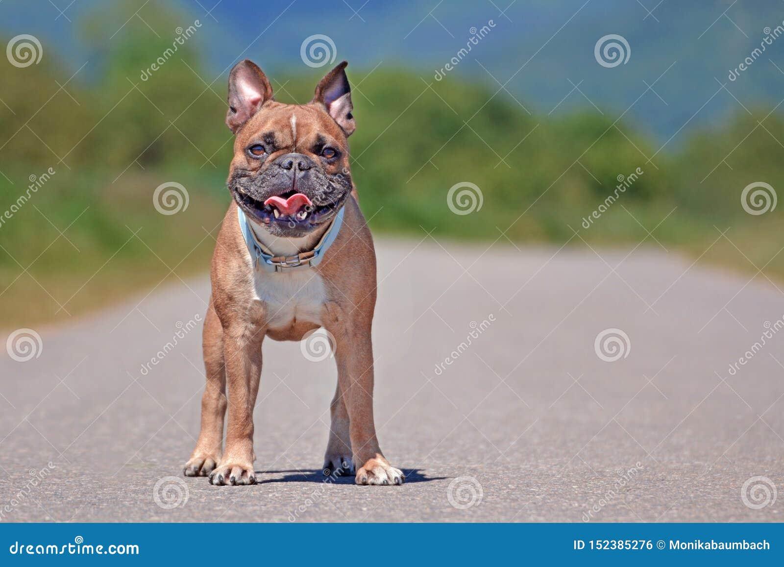 棕色法国牛头犬狗充分的身体射击与站立大的咧嘴的户外