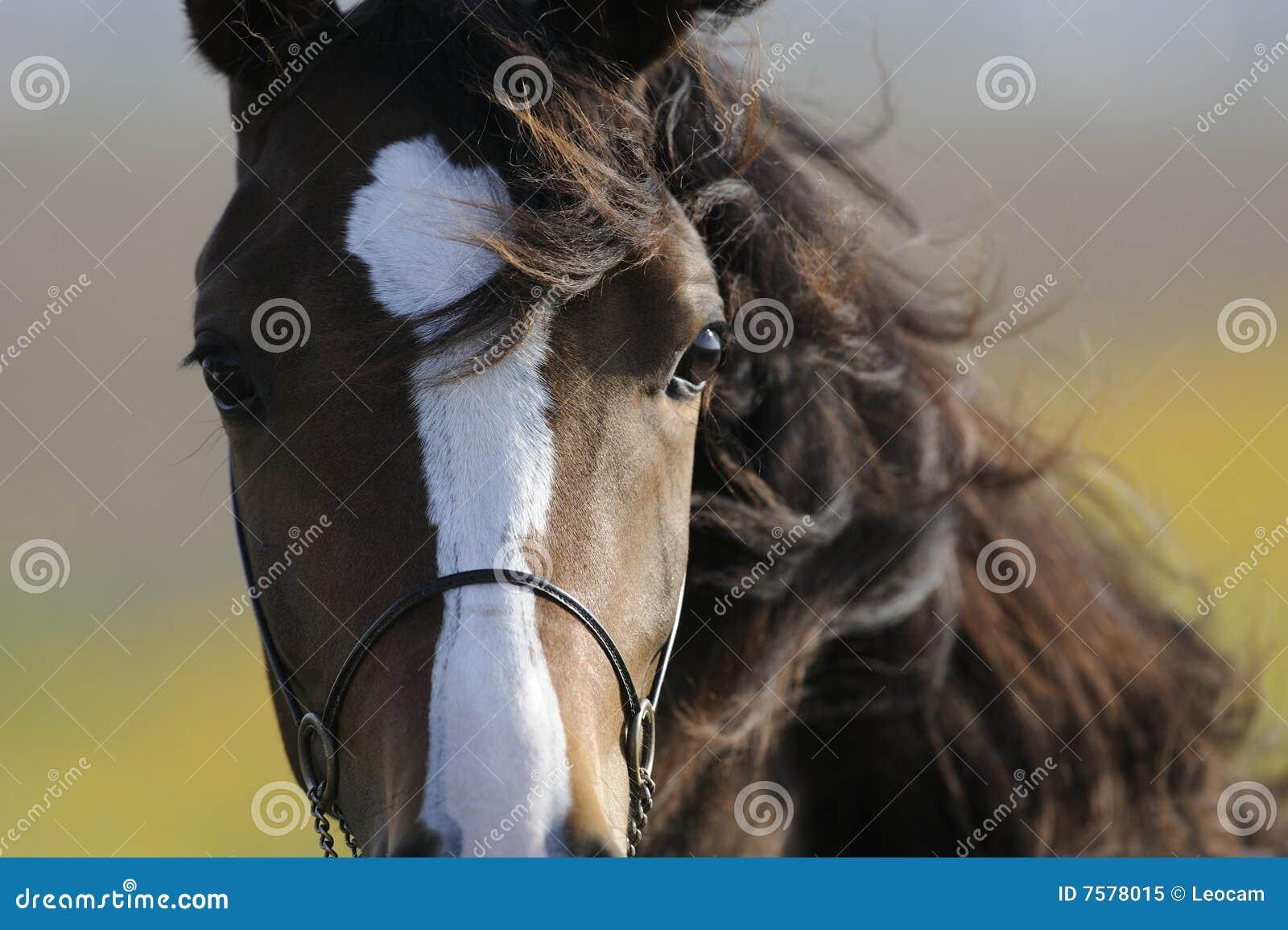 棕色顶头马