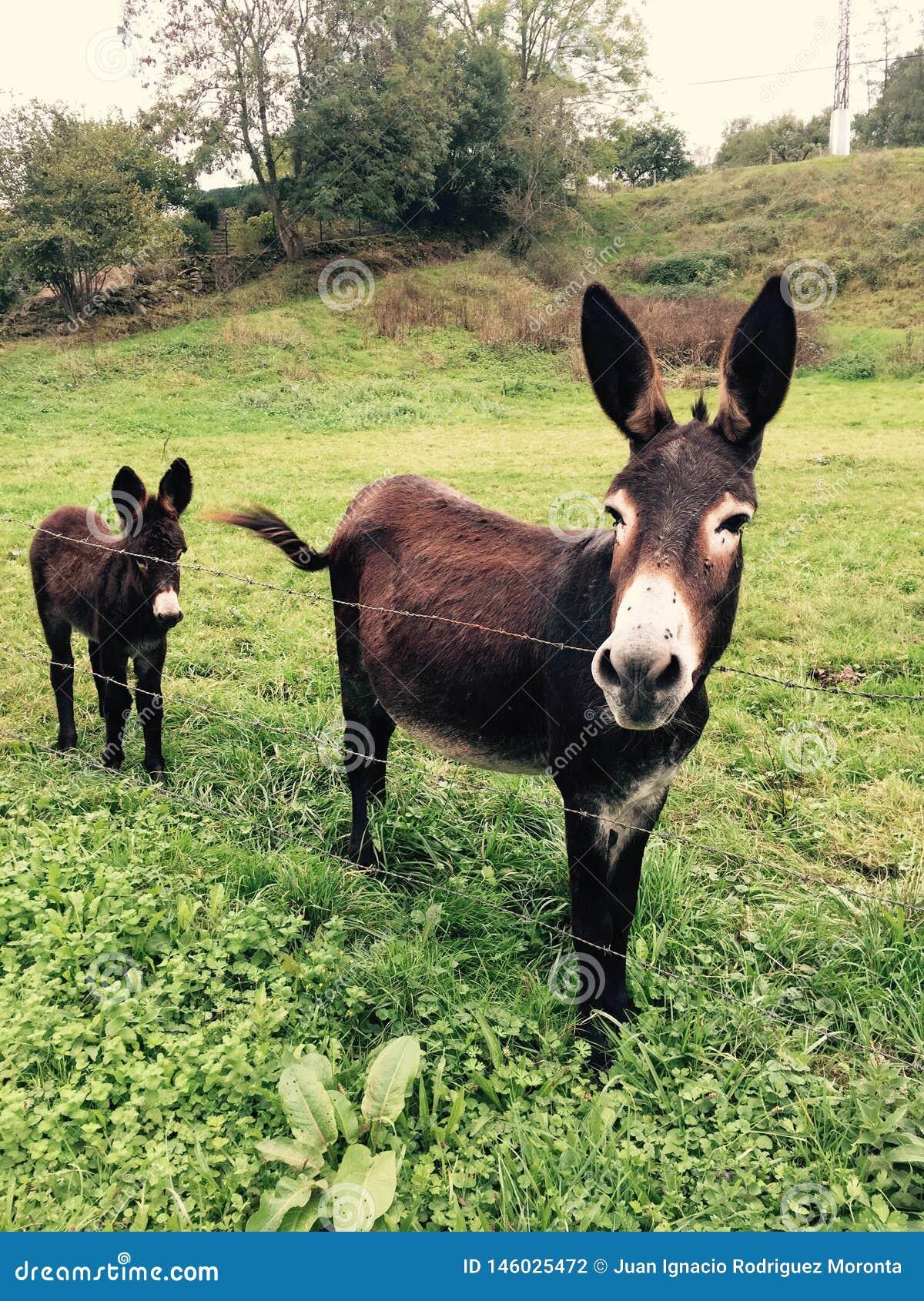 棕色驴母亲和儿子在草甸