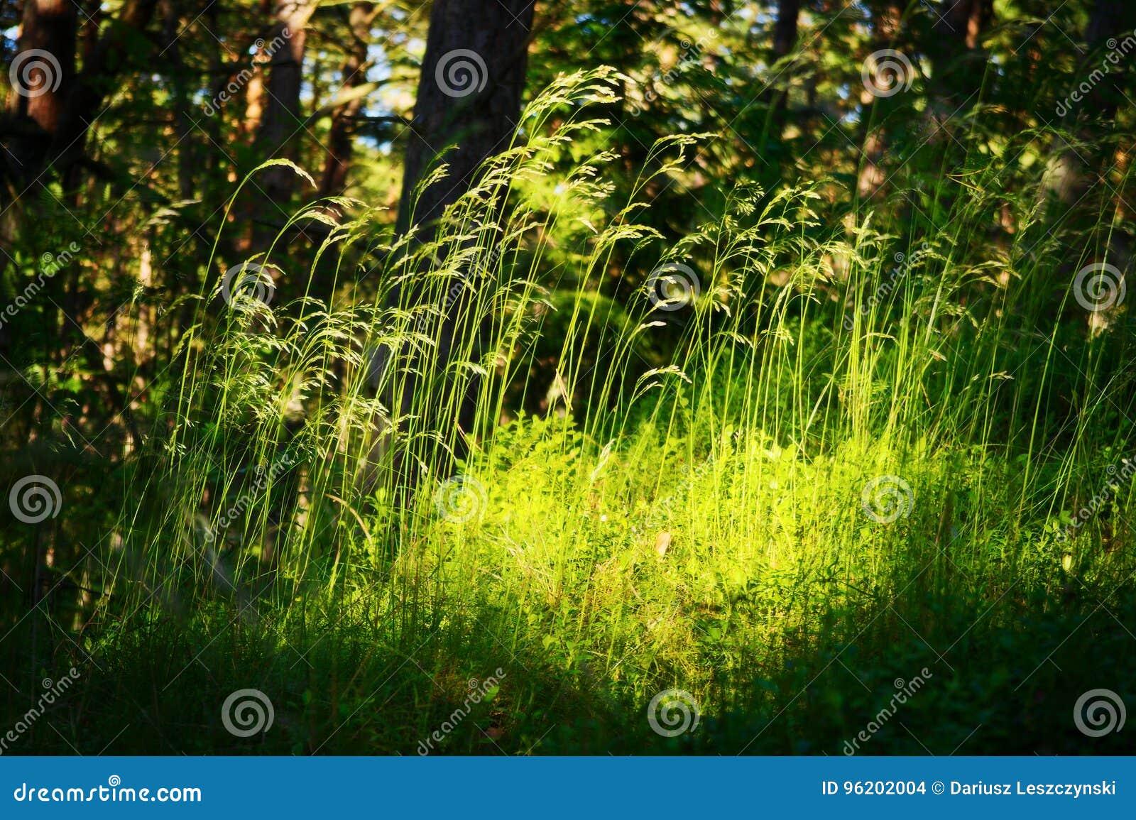森林下木植被 放牧在森林沼地的生长在草本层数understory或草丛