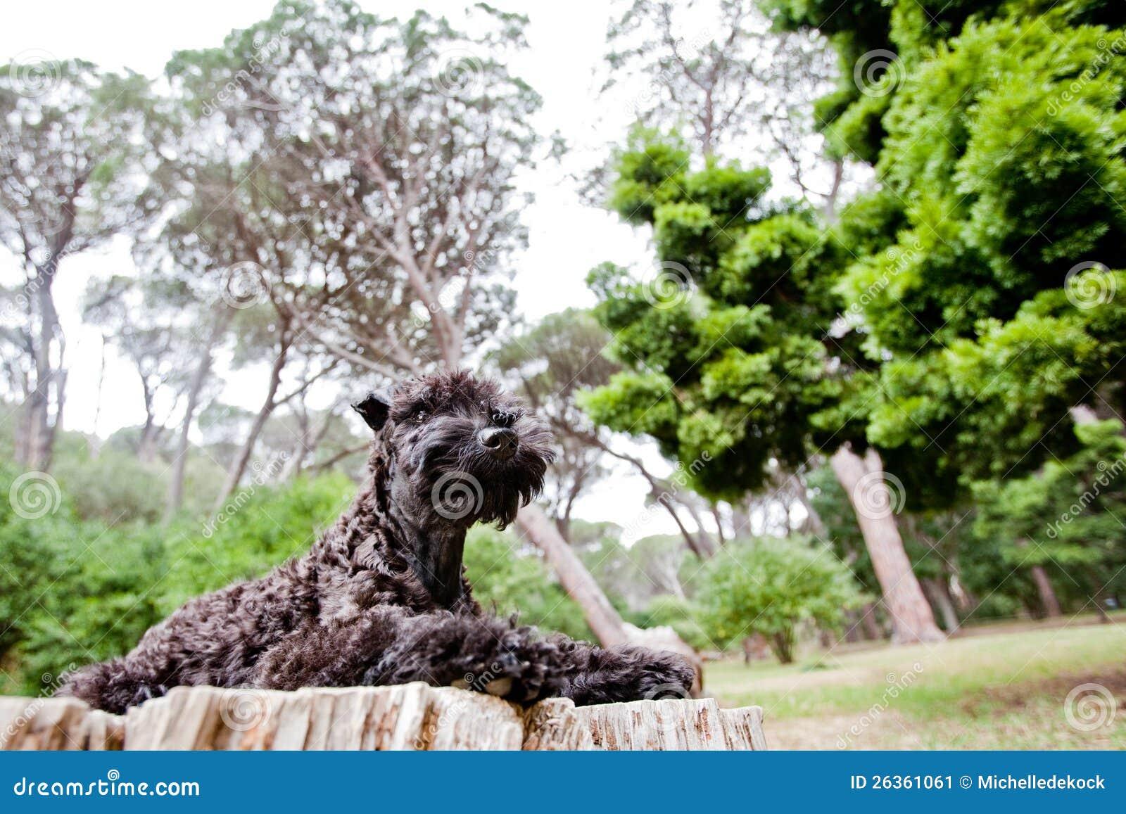 森林凯利蓝色狗小狗