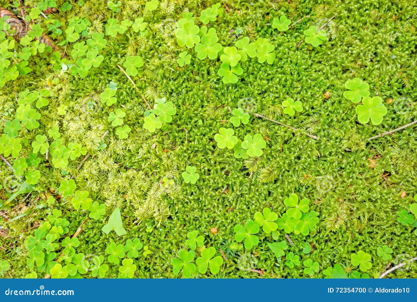 森林地板用三叶草