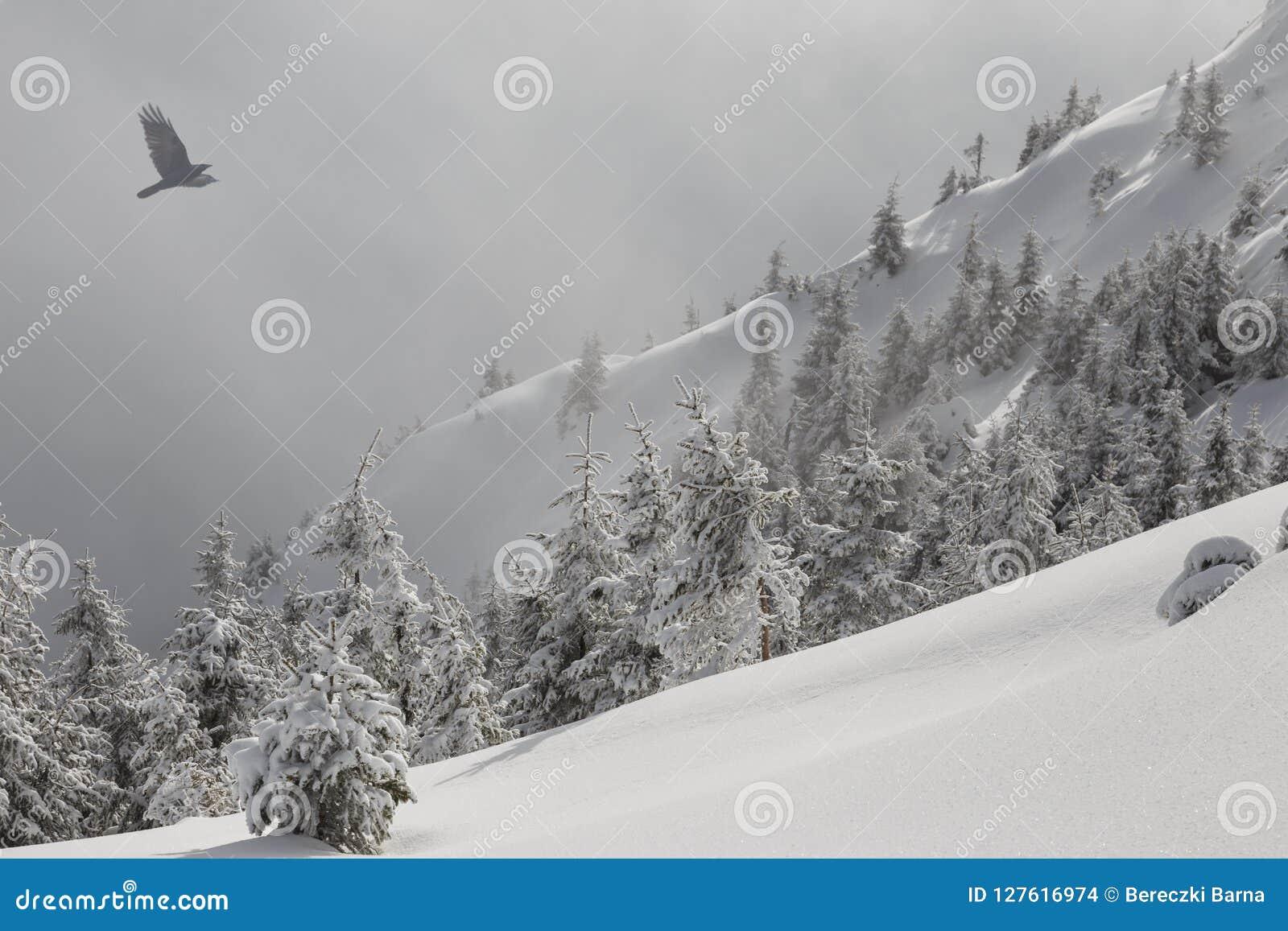森林山阴云密布风景天空多雪的冬天 用在一个山坡的雪盖的杉树在一场轻的雾和飞鸟