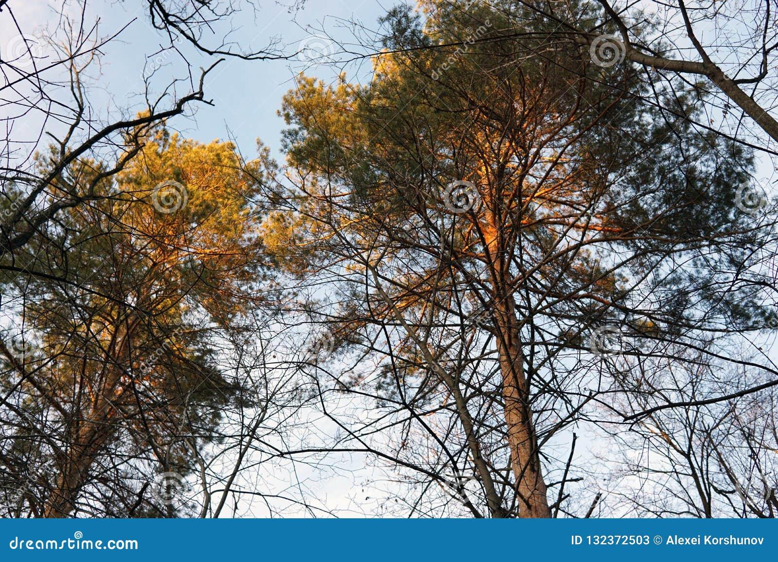 森林杉木的上面在日落光芒的