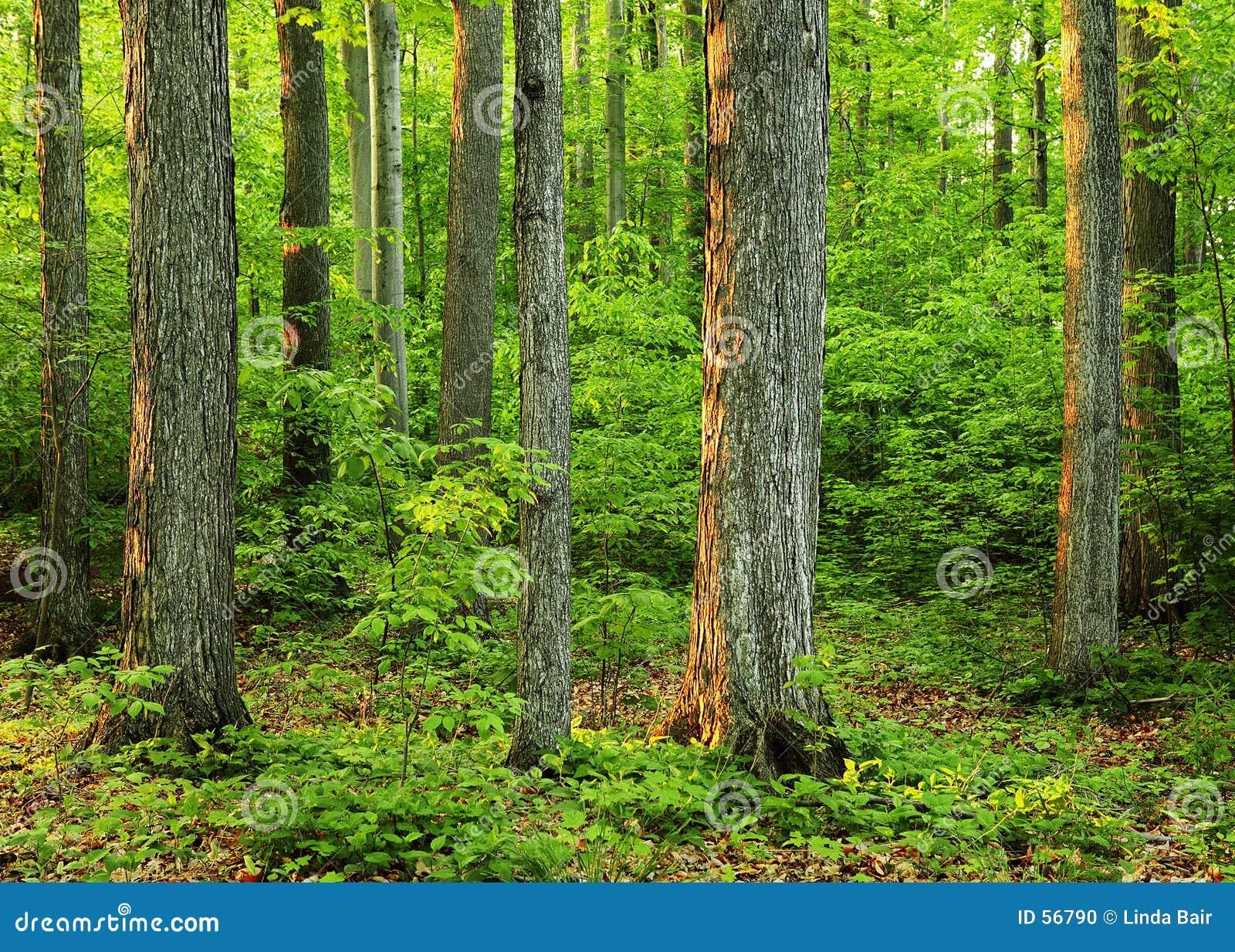 森林树丛增长老神圣