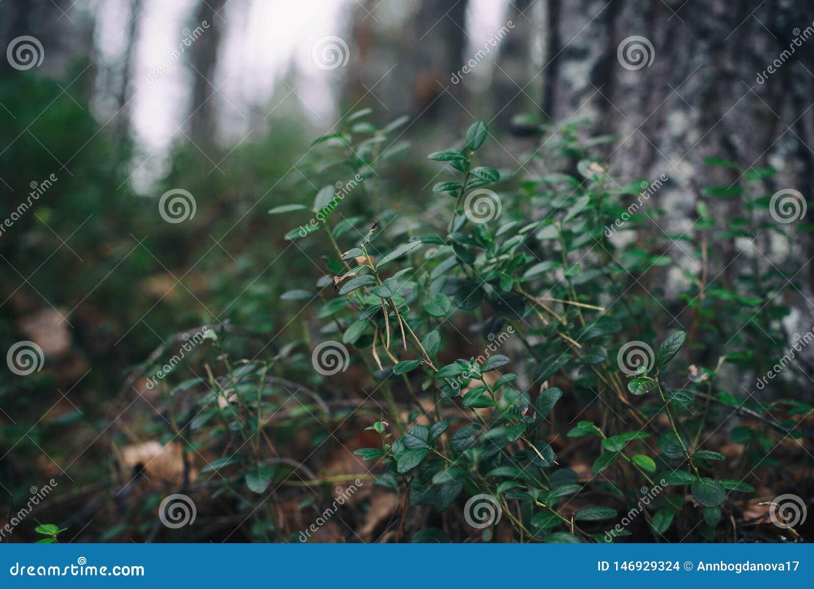森林植物 蓝莓灌木在森林里