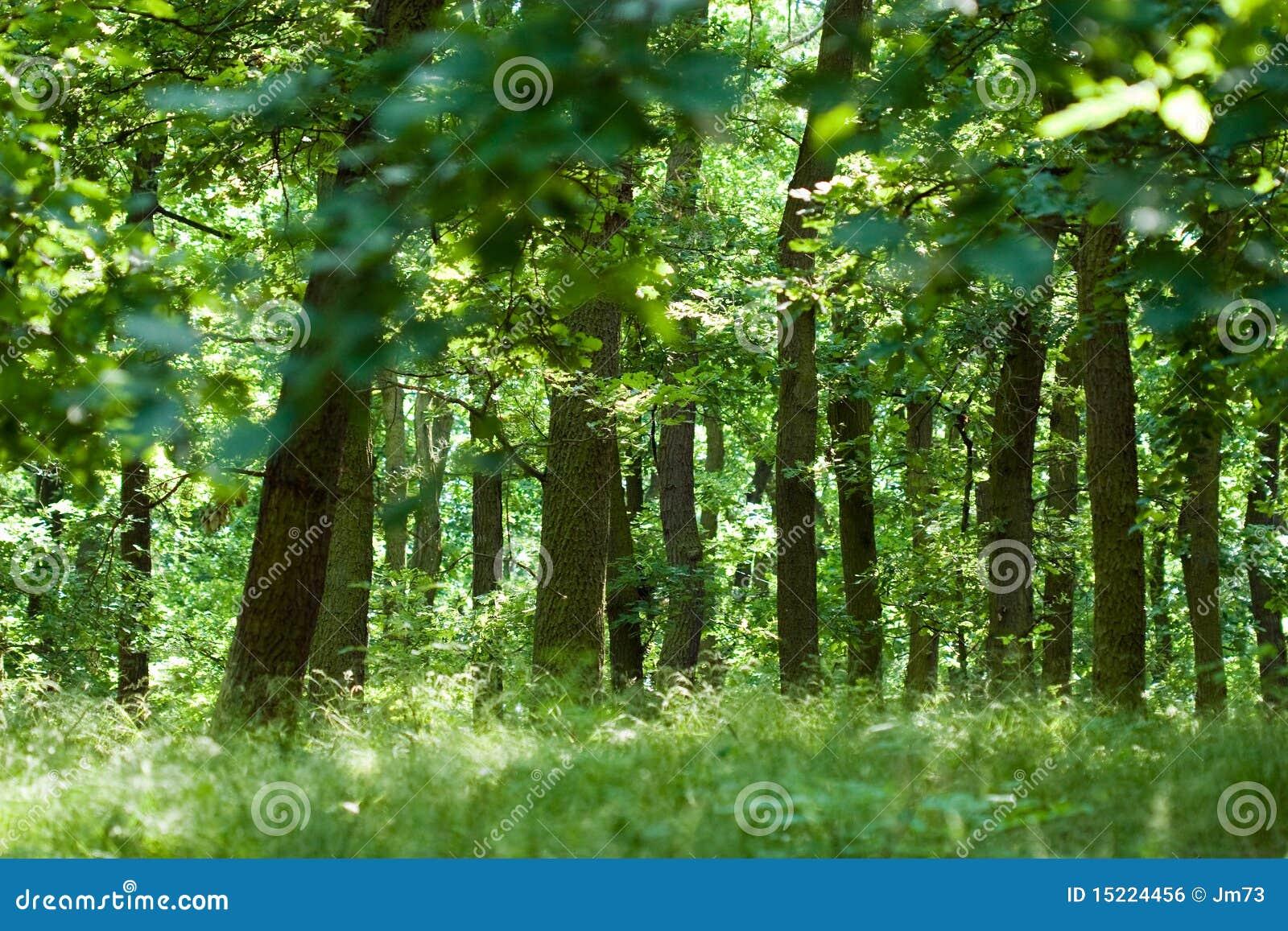 森林橡木夏天图片