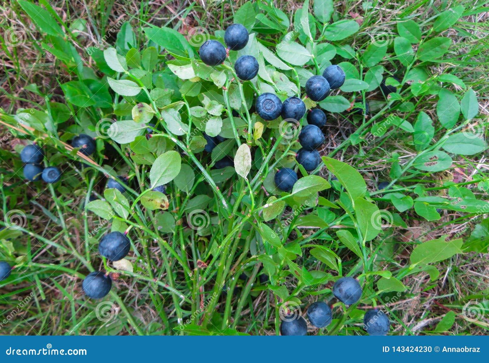 森林蓝莓的枝杈花束用莓果