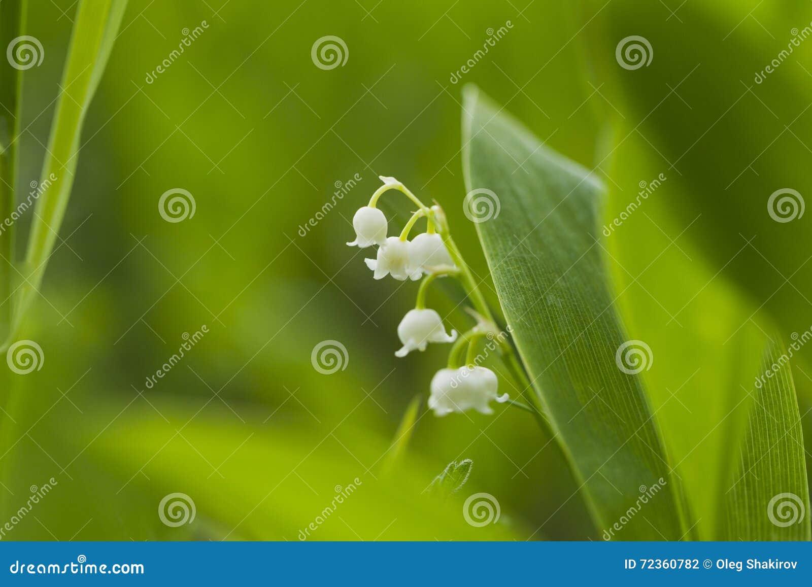 森林铃兰自然光