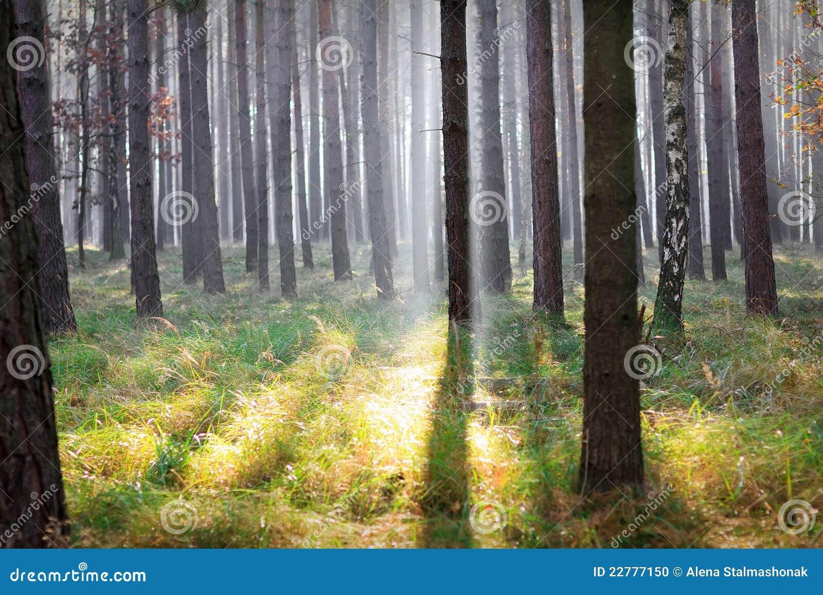 库存照片: 森林阳光图片