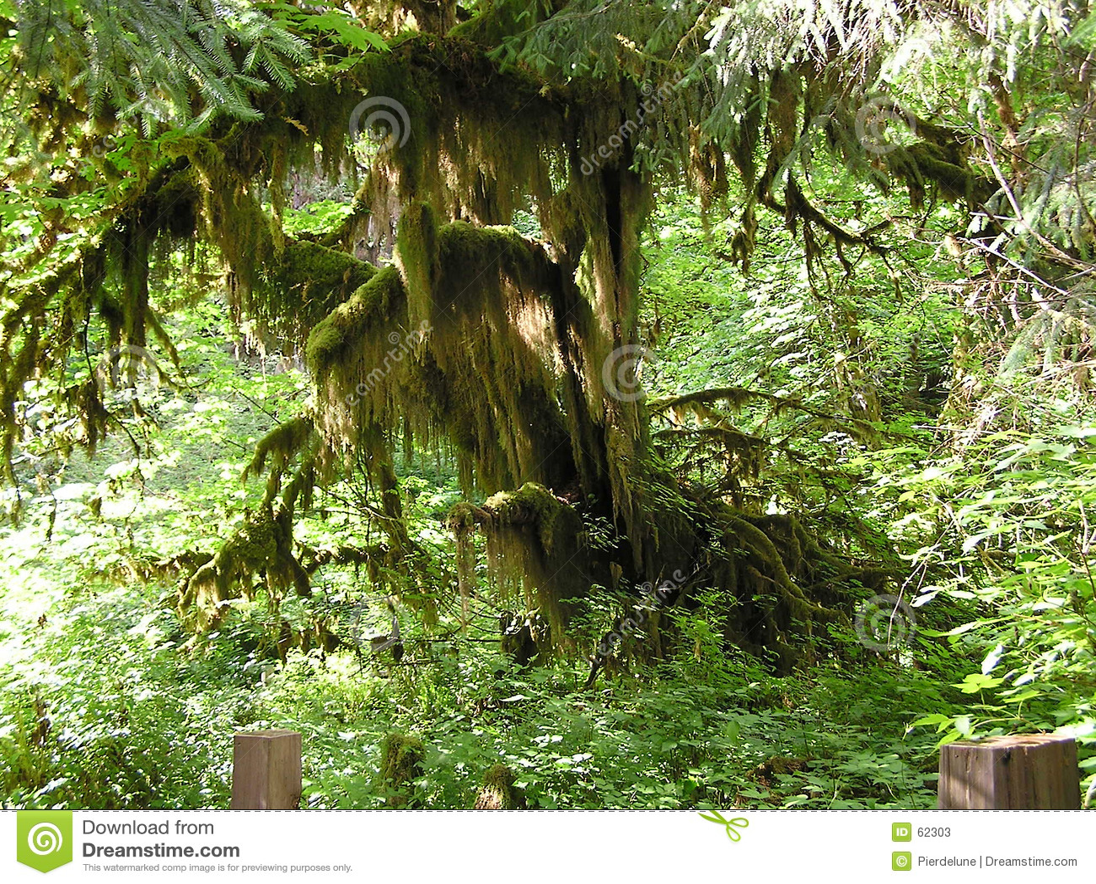 森林雨豆树
