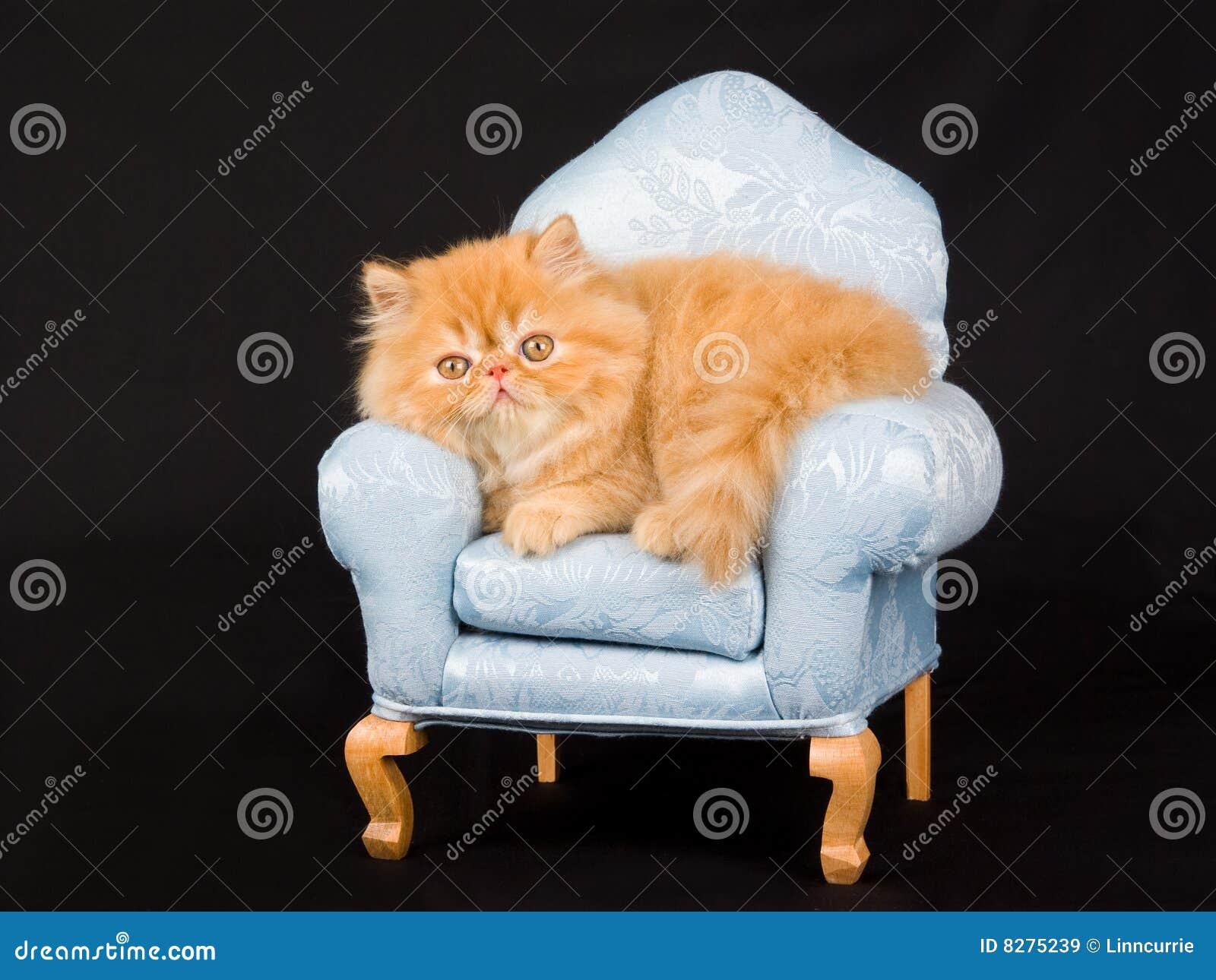 椅子逗人喜爱的小猫微型波斯俏丽