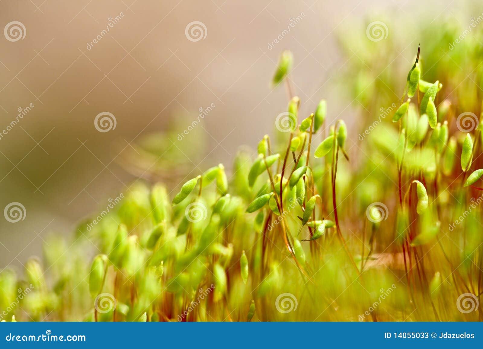 植入发芽麦子