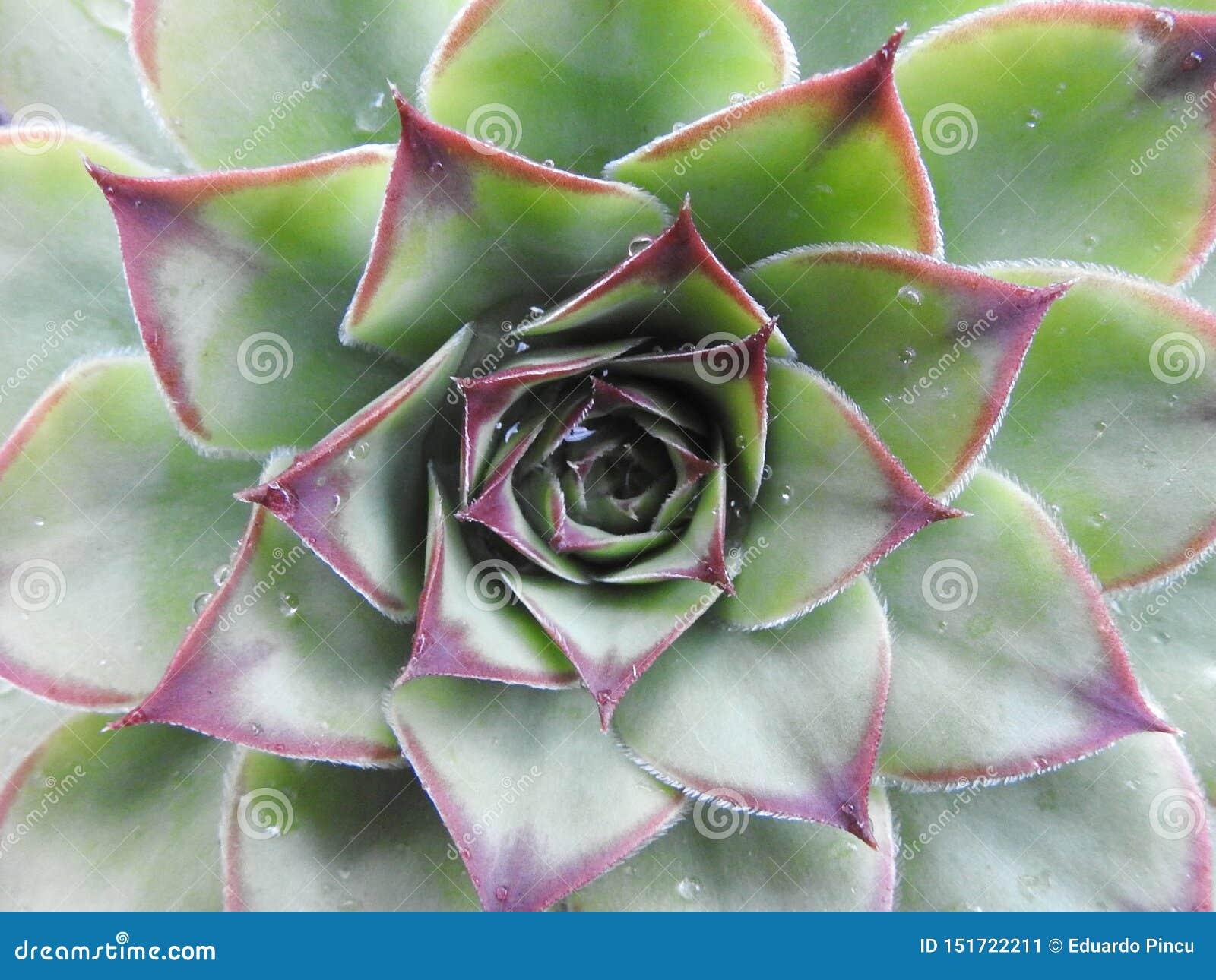 植物的叶子细节告诉多汁植物的