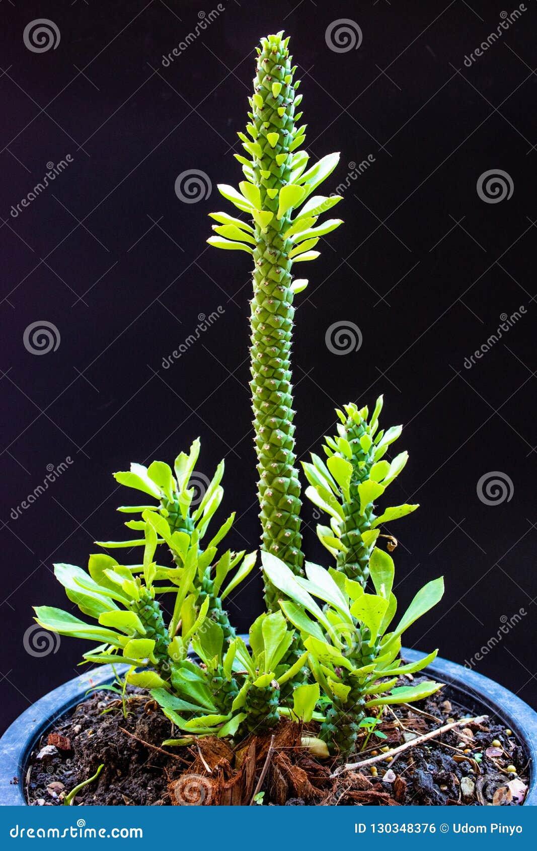 植物罐连接线条仙人掌