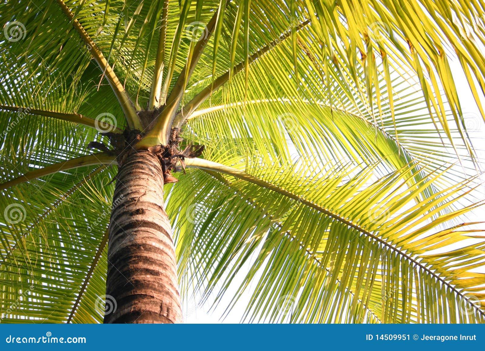 椰子夏天结构树