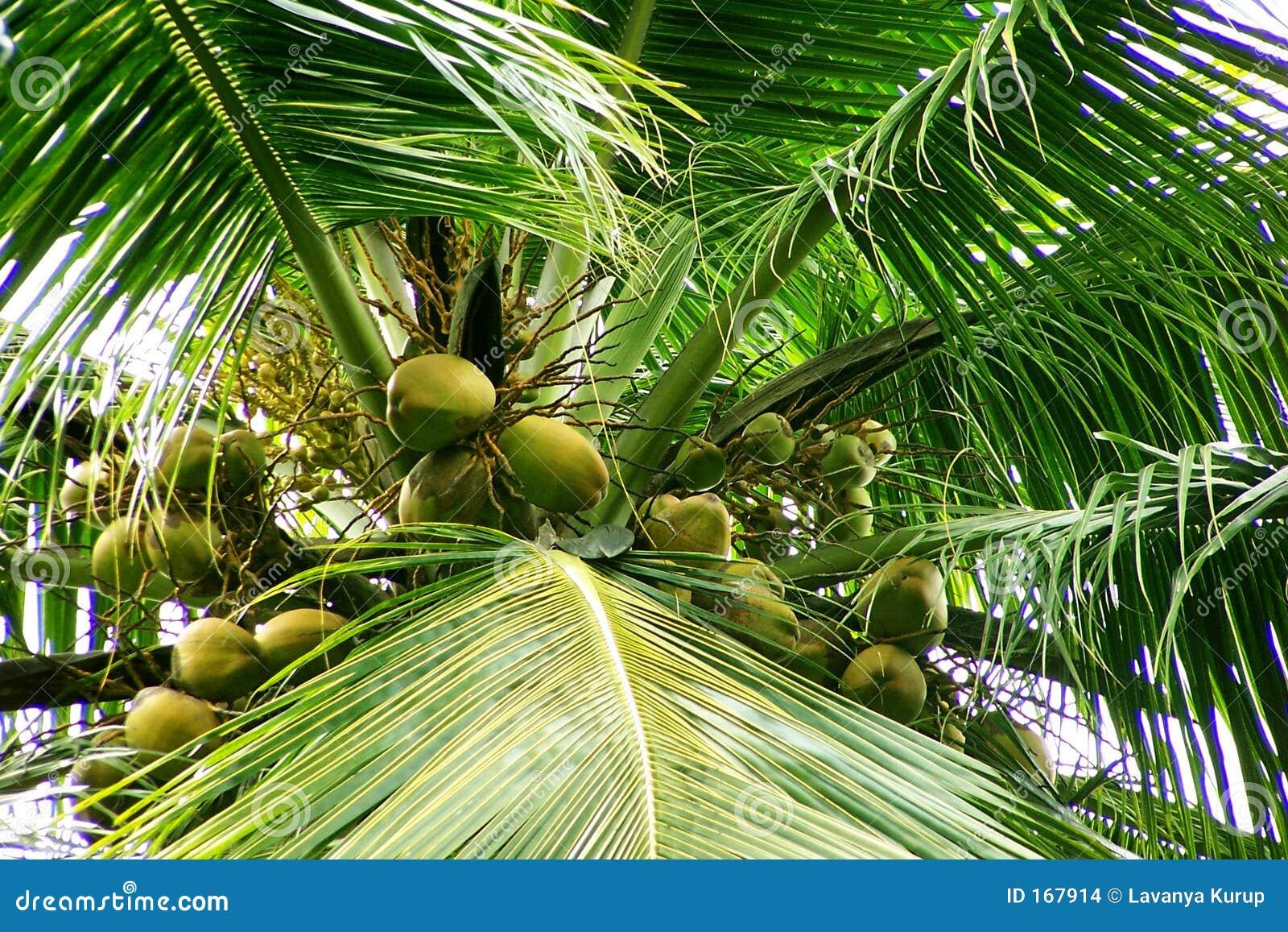 椰子新花的果子