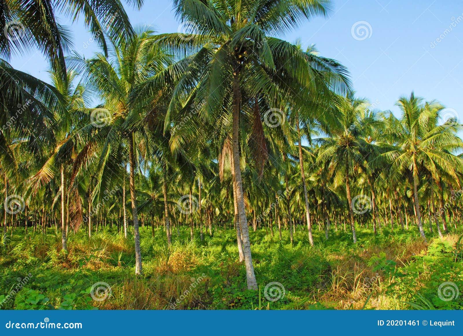 椰子树丛图片