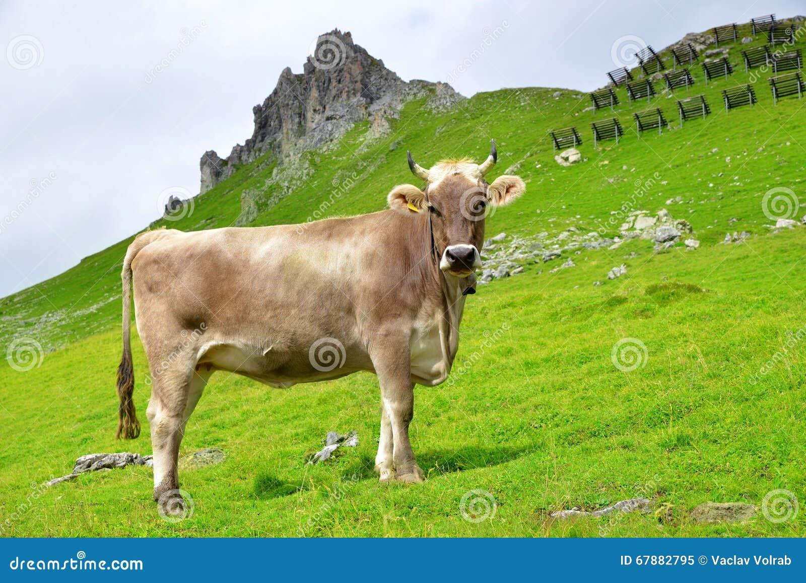 概念母牛横向草甸山本质