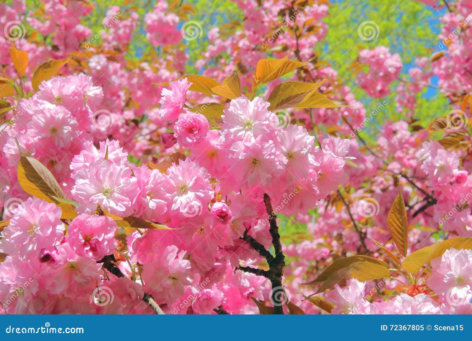 榆叶梅装饰物树