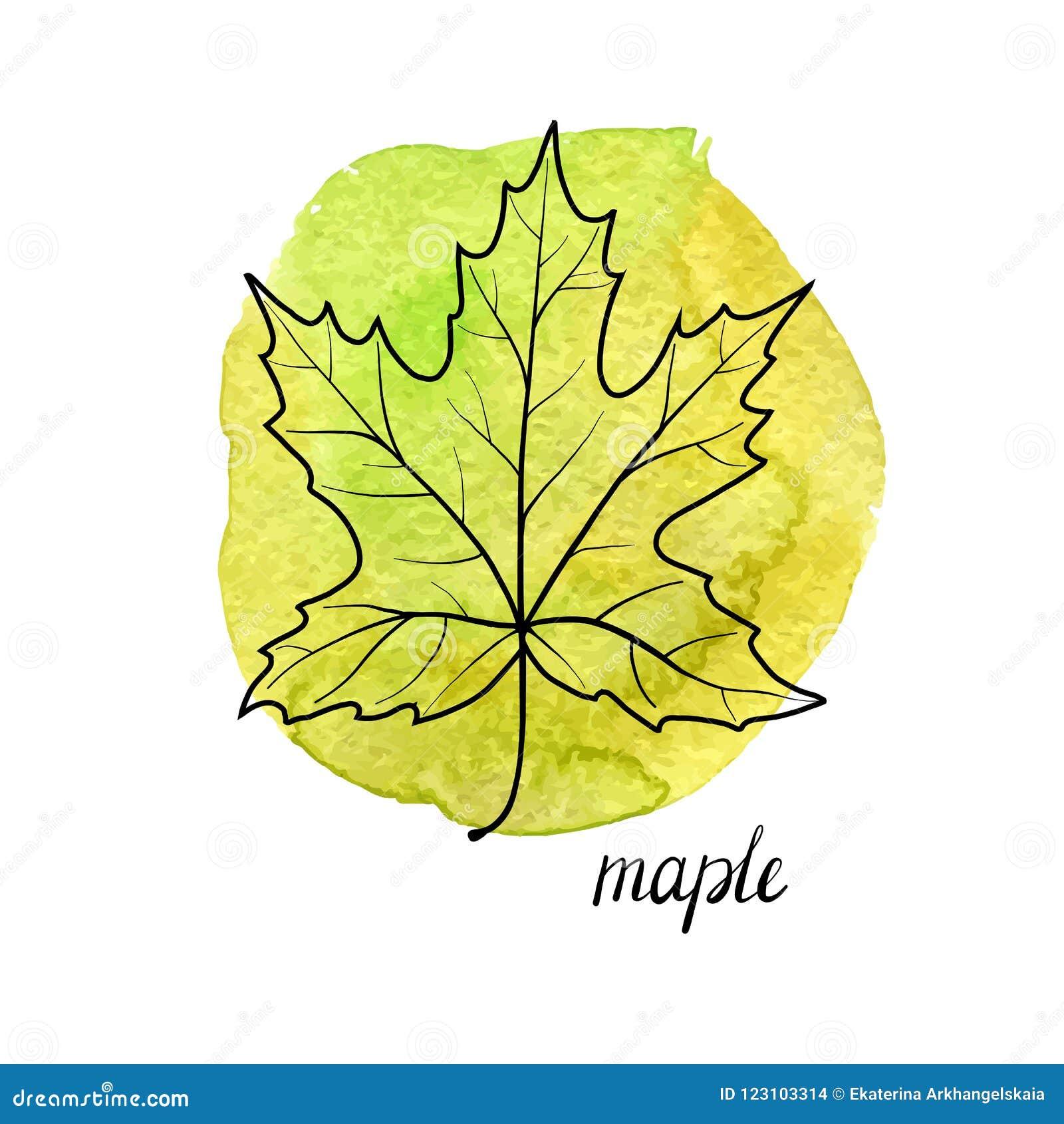 槭树传染媒介叶子