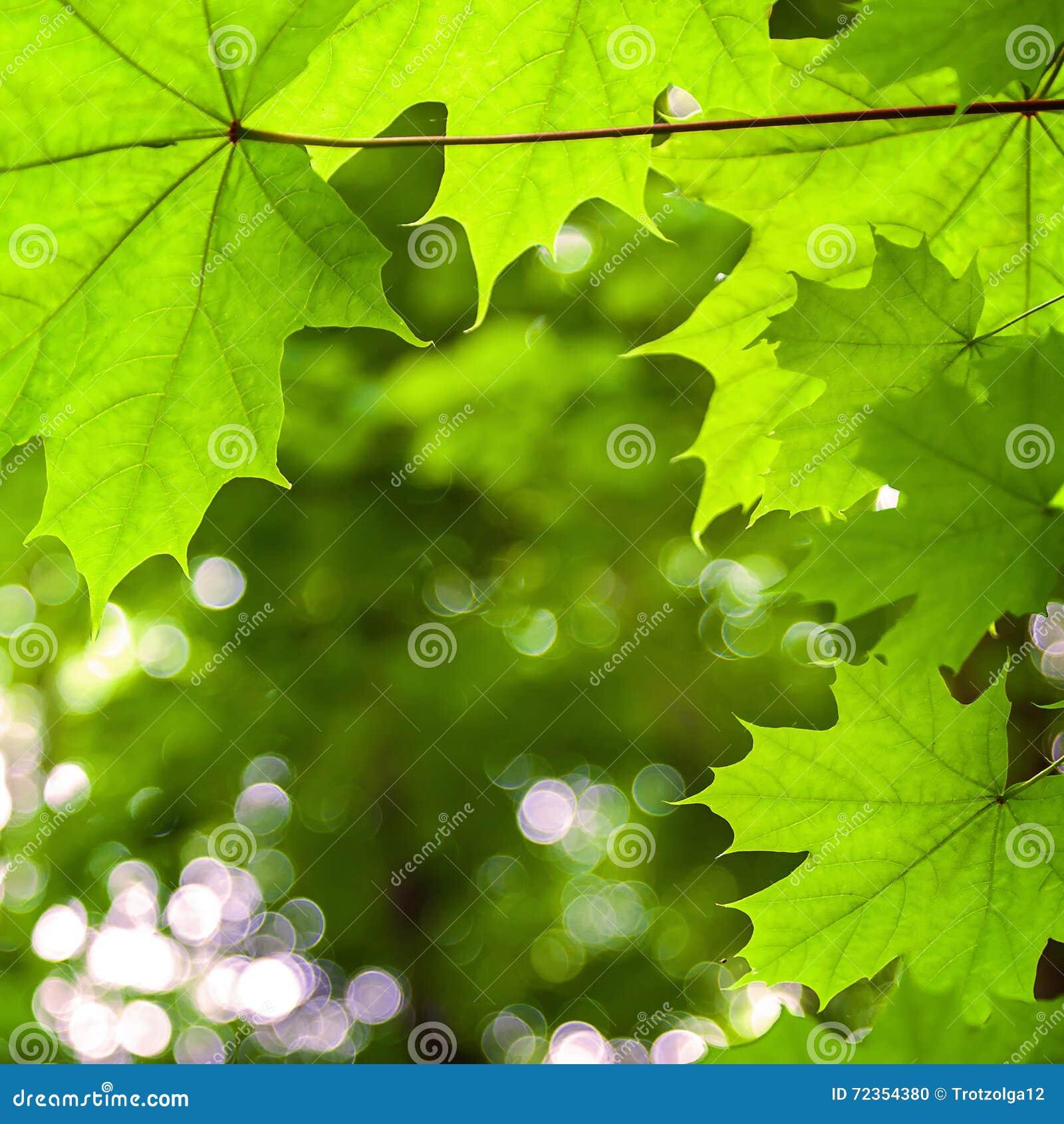 槭树叶子在晴天