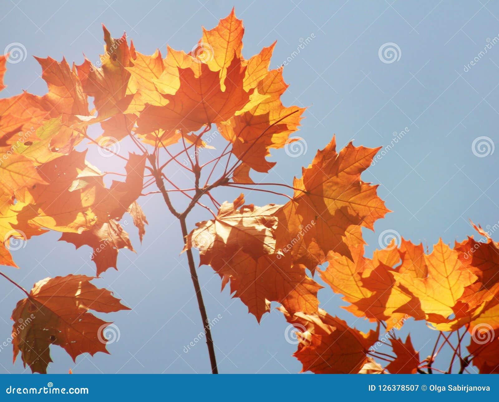 槭树在秋天