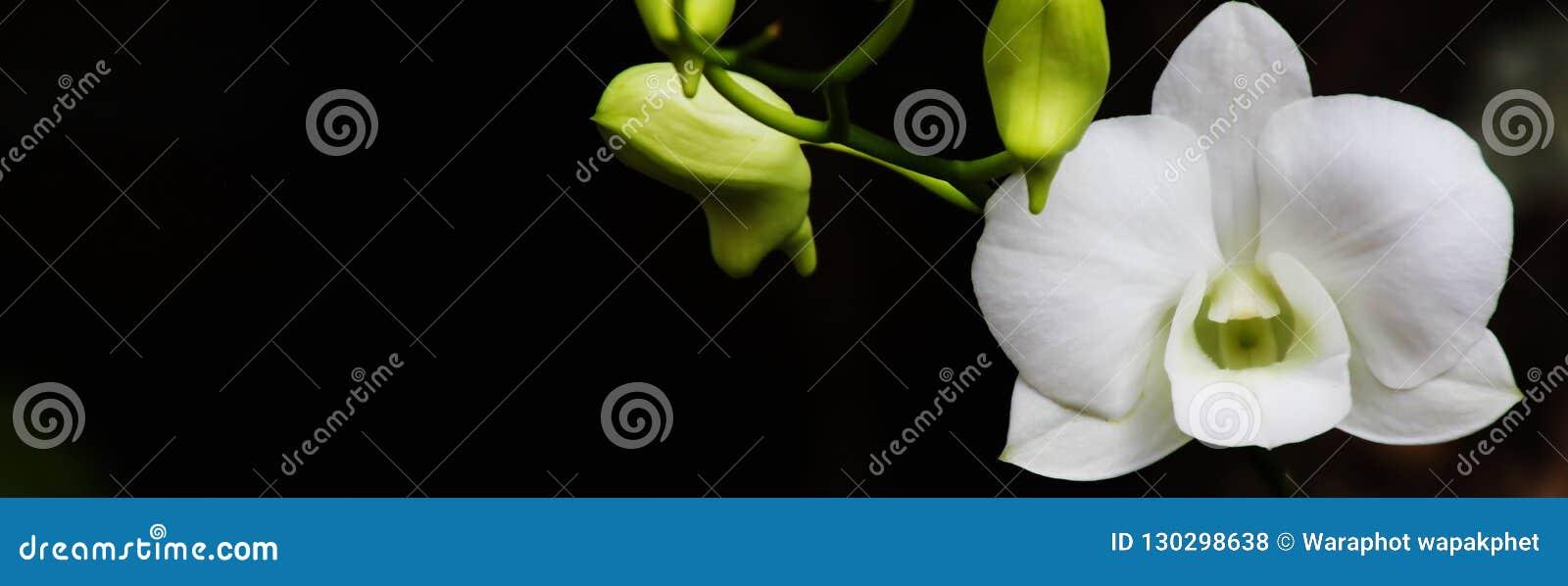 横幅大小自然,兰花背景