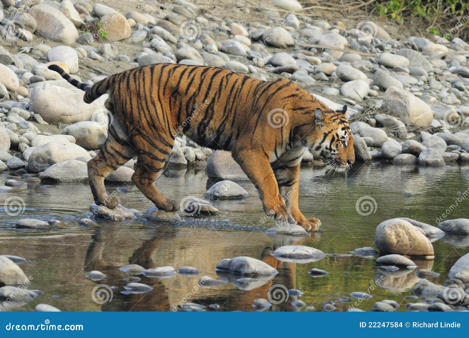 横穿印度流老虎