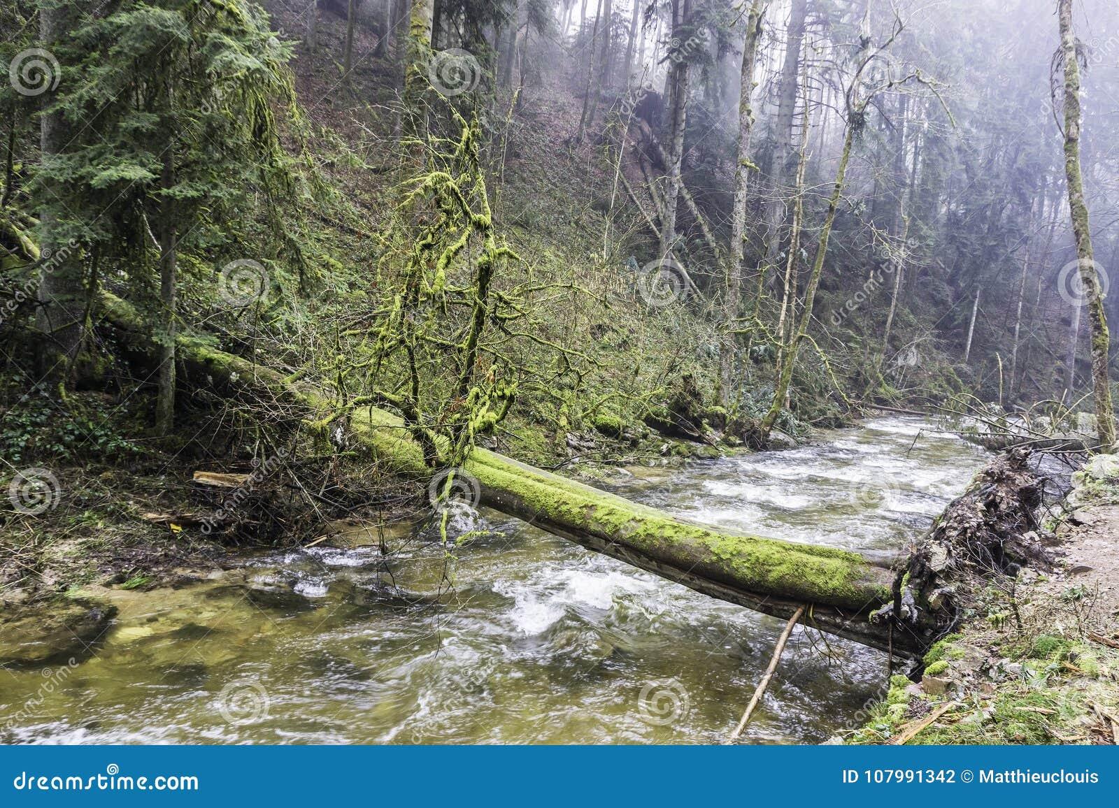 横跨一条河的下落的树在森林