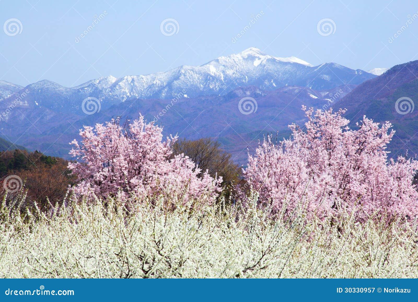 樱桃树和山