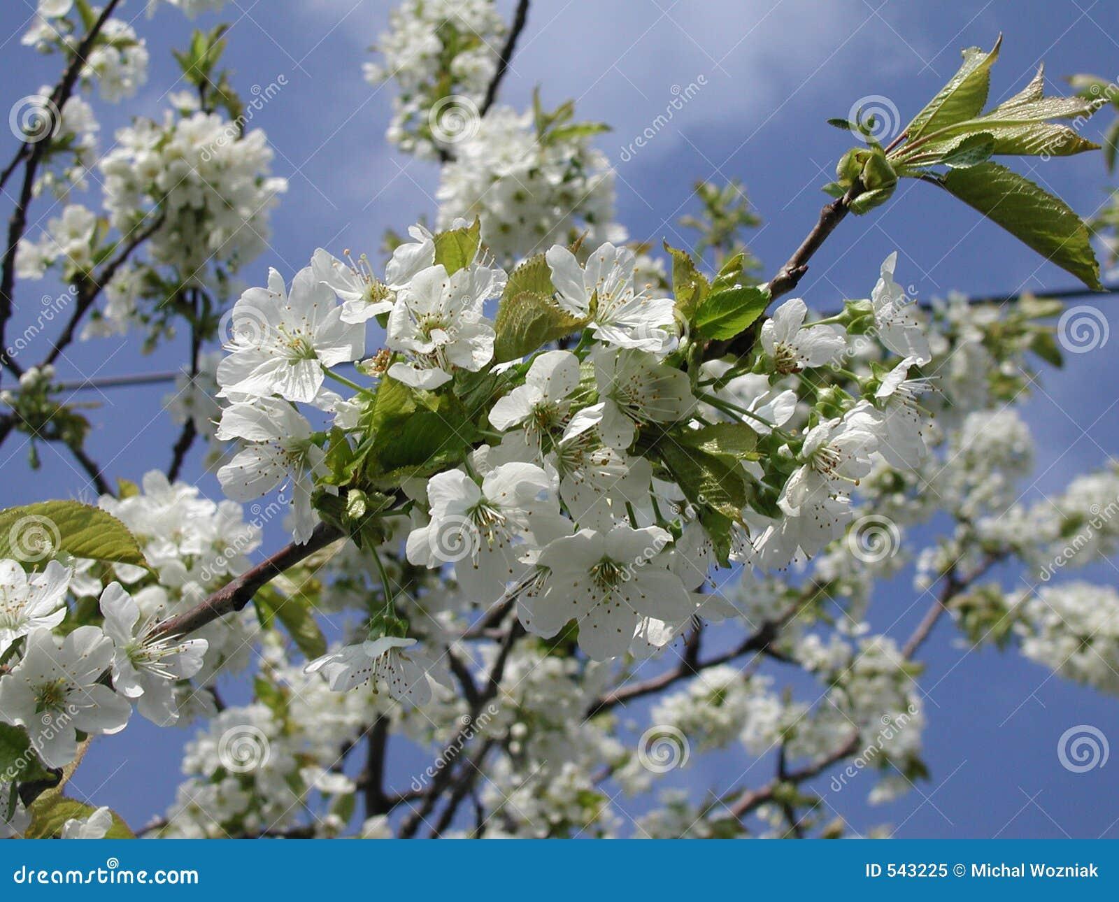 Download 樱桃树 库存图片. 图片 包括有 开花, 樱桃, 简单, 室外, 庭院, 蓝色, 开花的, 虚拟, beautifuler - 543225