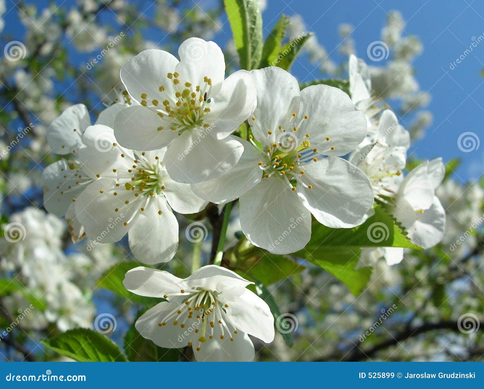 Download 樱桃花 库存图片. 图片 包括有 空白, 背包, 开花, 植物群, 结构树, beauvoir, 室外, 从事园艺 - 525899