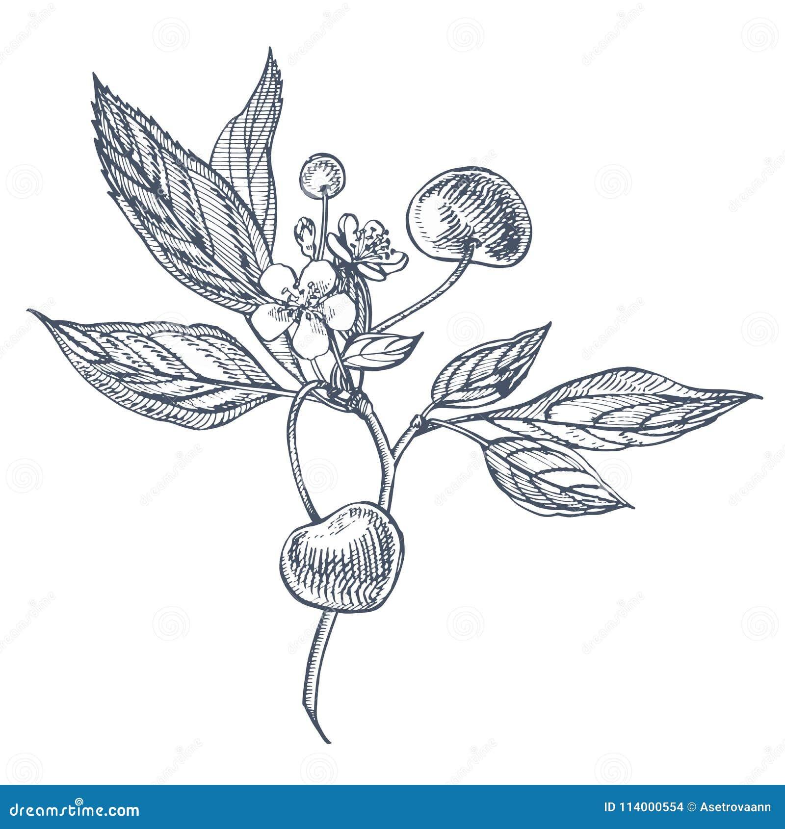 樱桃集合 在白色背景隔绝的手拉的莓果 夏天果子被刻记的传染媒介样式例证 伟大为