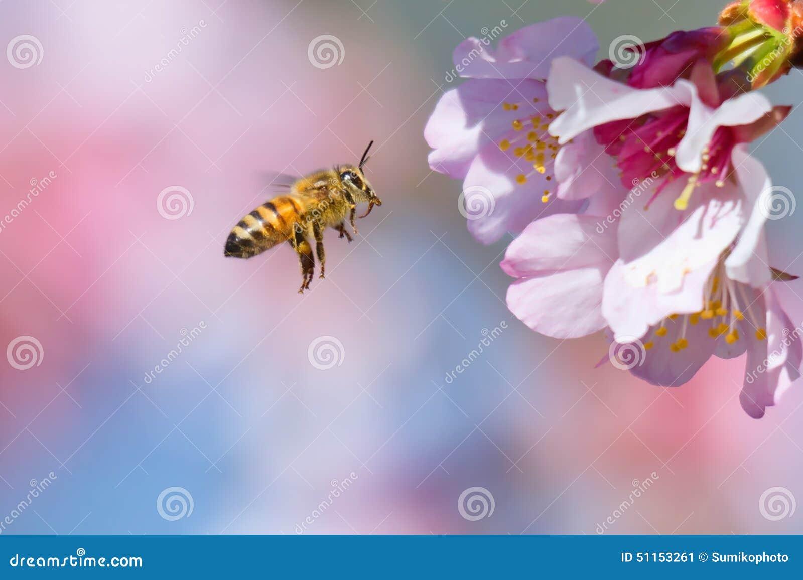 樱花和蜜蜂