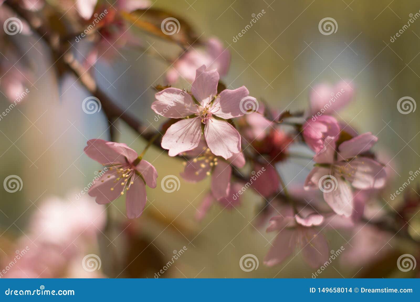 樱花在庭院里