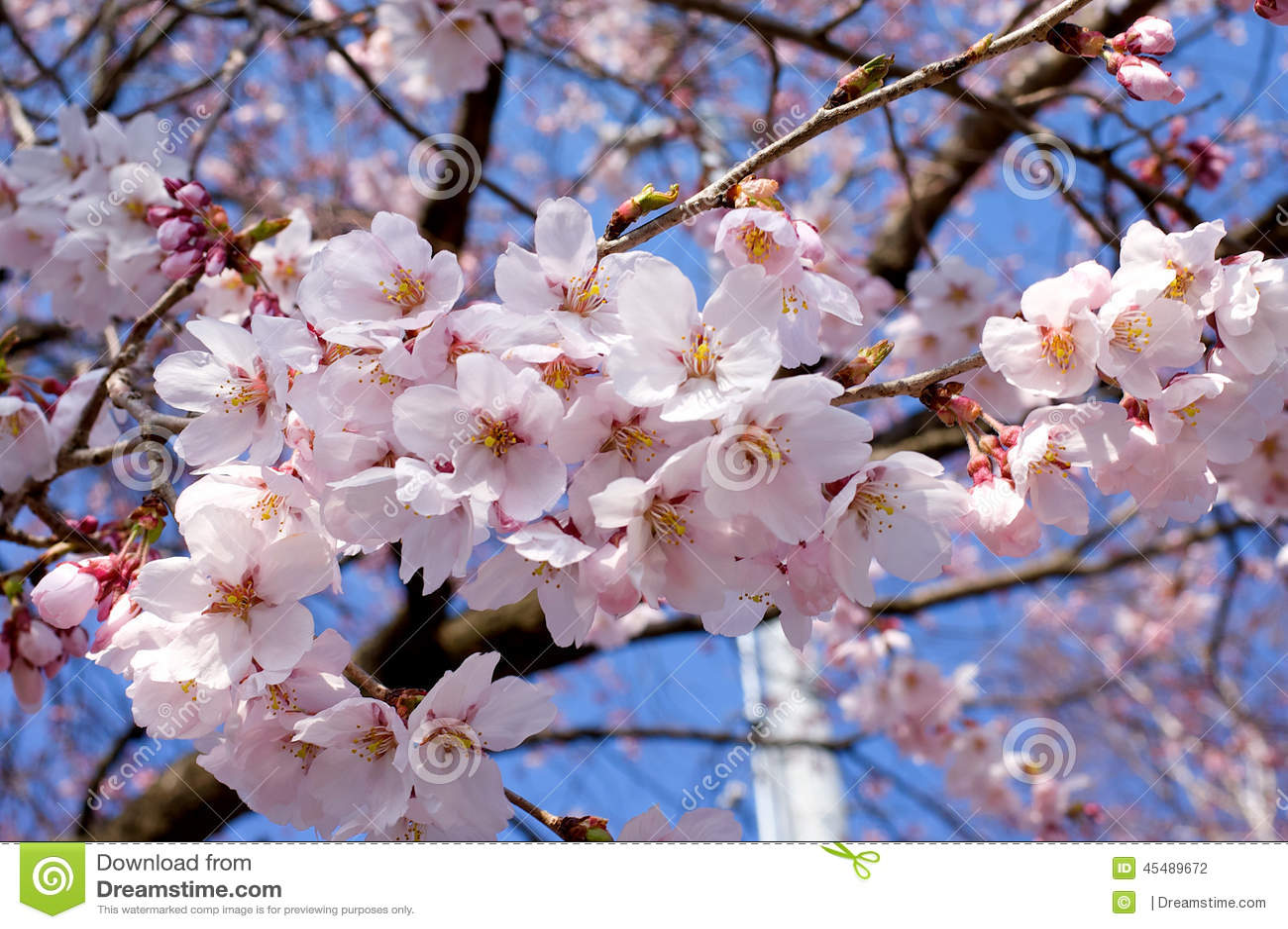 樱花或佐仓日语