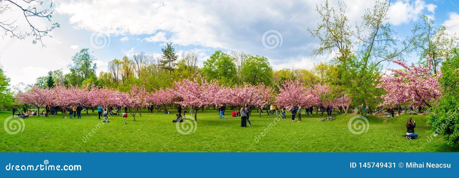 樱花树和游人在布加勒斯特的迈克尔I前Park Herastrau国王公园,罗马尼亚日本庭院里