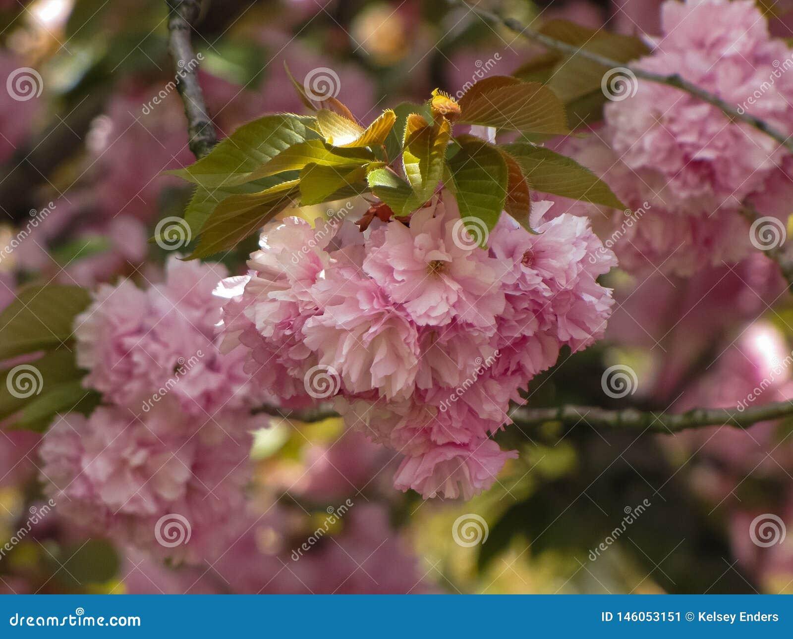 樱花树在阳光下