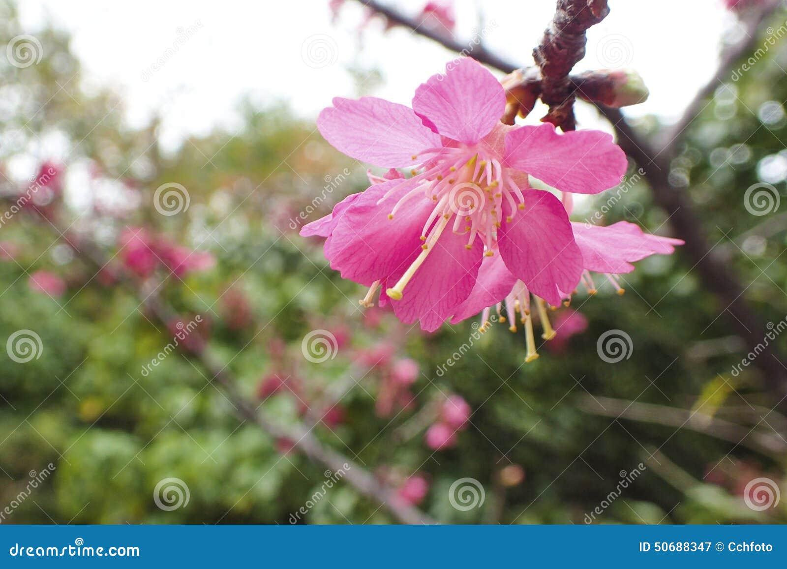 Download 樱花花 库存图片. 图片 包括有 绿色, 红色, 樱桃, 植物群, 日语, 春天, 开花, 日本, 季节 - 50688347