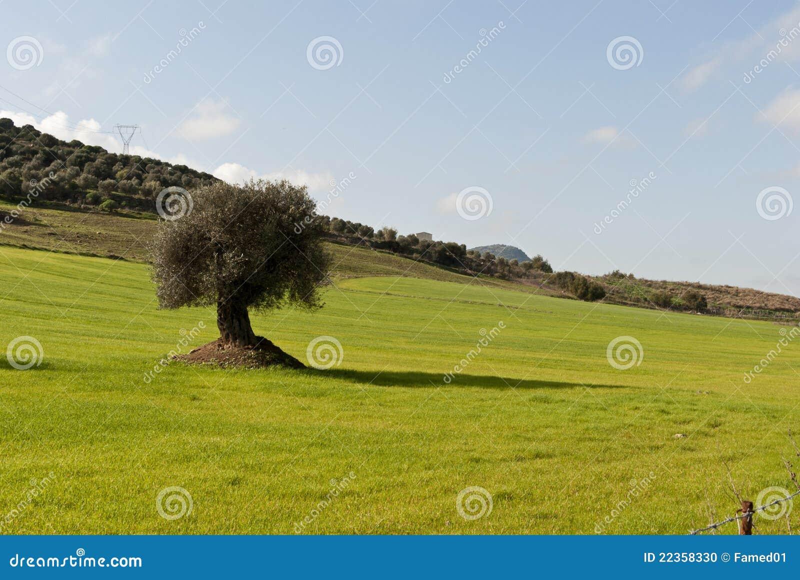 橄榄树在撒丁岛