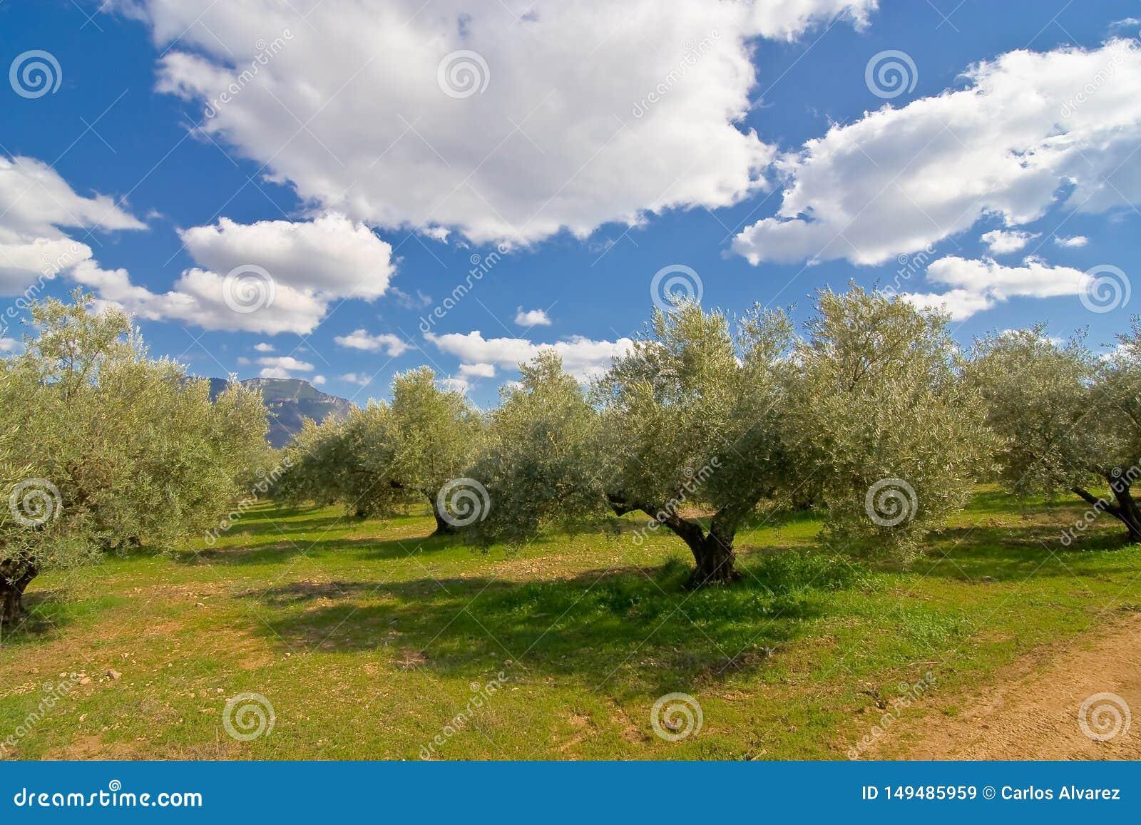 橄榄树在绿色草甸
